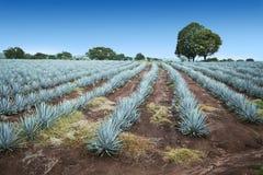 Paisagem do Tequila foto de stock royalty free