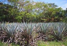 Paisagem do tequila da agave em México Fotografia de Stock Royalty Free