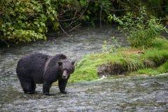 Paisagem do urso Imagem de Stock