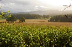 Paisagem do vale do milho do milho Foto de Stock Royalty Free