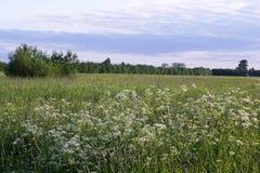Paisagem do verão, campos de florescência Fotografia de Stock