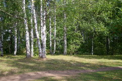 Paisagem do verão com árvores de vidoeiro Foto de Stock Royalty Free