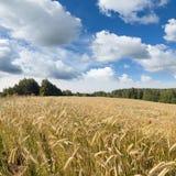 Paisagem do verão com campo amarelo do centeio Fotografia de Stock