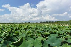 Paisagem do verão com florescência do lat do porca-rolamento de Lotus Nucifera do Nelumbo no Kuban imagens de stock