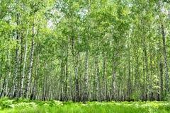 Paisagem do verão com a floresta do vidoeiro imagens de stock royalty free