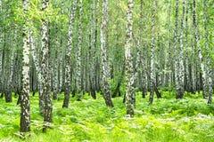 Paisagem do verão com a floresta do vidoeiro e o sol imagem de stock royalty free