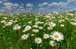 Paisagem do verão com margaridas brancas em um prado verde foto de stock royalty free