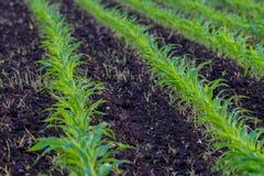 Paisagem do verão com um campo do milho novo com ervas daninhas, proteção de planta, uso dos herbicidas, cultivo ecológico, Eslov imagens de stock