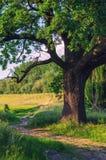 Paisagem do verão que mostra o carvalho gigante ao lado da estrada secundária imagem de stock royalty free