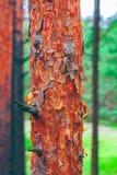 Paisagem do verde floresta do pinho foto de stock