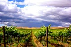 A paisagem do vinhedo da uva enfileira sob o céu nebuloso Imagens de Stock Royalty Free