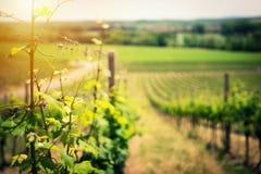 Paisagem do vinhedo no close up do início do verão Fotos de Stock