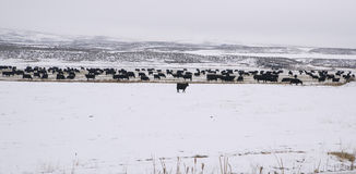 Paisagem doméstica do inverno das vacas dos animais de exploração agrícola Foto de Stock Royalty Free