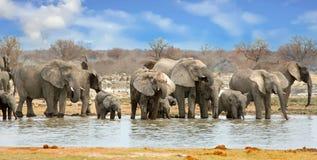 Paisagem dos elefantes que bebem em um waterhole em Etosha com o céu nebuloso azul agradável Imagens de Stock Royalty Free