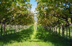 Paisagem dos vinhedos do Trentino Alto Adige em Itália A rota do vinho Imagem de Stock