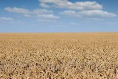 Paisagem dourada do campo de trigo Foto de Stock Royalty Free