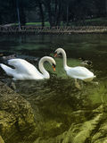paisagem e cisne da natureza Fotografia de Stock