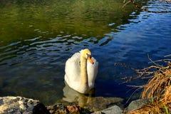 Paisagem e cisne no lago Schwansee em Alemanha imagens de stock royalty free