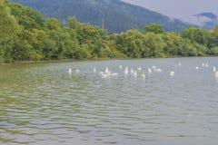 Paisagem e cisnes da montanha que nadam no lago Fotografia de Stock