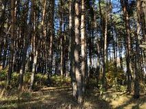 Paisagem em um dia ensolarado do outono: clareira e pinhos em um terreno montanhoso imagem de stock