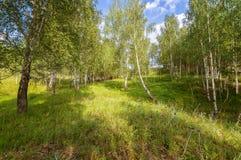 Paisagem em uma floresta do vidoeiro, Rússia do verão, os Ural, imagens de stock