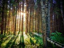 Paisagem ensolarada da floresta, sol através das árvores Fotos de Stock