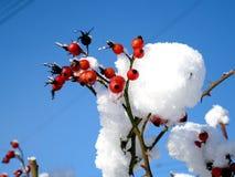 Paisagem ensolarada do countrysyde do inverno, bagas vermelhas Imagens de Stock Royalty Free