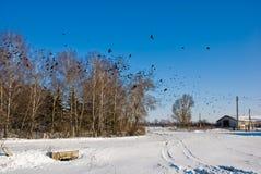 Paisagem ensolarada do inverno com vôo dos corvos Imagem de Stock Royalty Free