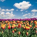 Paisagem fantástica com as tulipas coloridas das flores contra o céu Fotografia de Stock Royalty Free