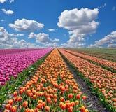 Paisagem fantástica com as tulipas coloridas das flores contra o céu Foto de Stock