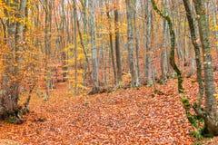 paisagem - floresta decíduo do outono em outubro imagens de stock