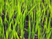 Paisagem fresca macro do verde de grama imagem de stock