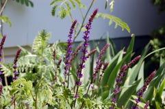 Paisagem Fuzzy Purple Flower Stalk do jardim do quintal foto de stock