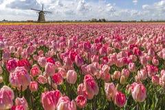 Paisagem holandesa do moinho de vento dos Tulips Imagens de Stock Royalty Free