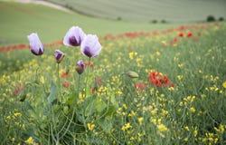 Paisagem impressionante do campo da papoila com papoilas roxas Imagem de Stock
