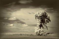 paisagem infravermelha da árvore, árvores velhas no sepia Fotografia de Stock