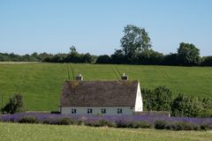 A paisagem inglesa rural com alfazema de negligência da casa branca coloca em uma exploração agrícola da flor no Cotswolds Monte  fotografia de stock