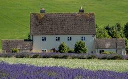 A paisagem inglesa rural com alfazema de negligência da casa branca coloca em uma exploração agrícola da flor no Cotswolds Monte  fotos de stock royalty free