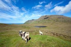 Paisagem intacta com um carneiro e um cordeiro Imagem de Stock