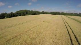 Paisagem madura do zangão, vista aérea do campo de trigo vídeos de arquivo