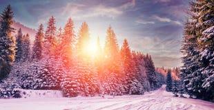 Paisagem majestosa do inverno pinheiro gelado sob a luz solar no por do sol Imagem de Stock Royalty Free