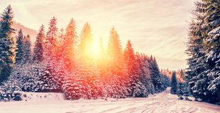 Paisagem majestosa do inverno pinheiro gelado sob a luz solar no por do sol conceito do feriado do Natal, paisagem maravilhosa in Fotos de Stock Royalty Free