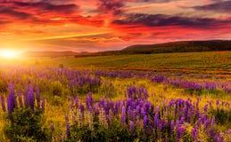 Paisagem maravilhosa da natureza céu do dramati com as nuvens que cobrem na luz solar sobre as flores lupine de florescência no p fotos de stock royalty free