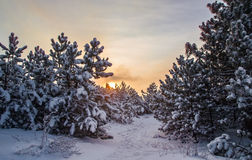 Paisagem, nascer do sol na floresta do inverno Foto de Stock Royalty Free