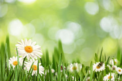 Paisagem natural abstrata com as flores da margarida da beleza foto de stock royalty free