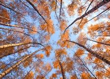 Paisagem natural com uma vista de baixo nos troncos e das partes superiores de b fotos de stock