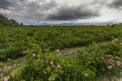 A paisagem pitoresca com campo da rosa sob um céu nebuloso Foto de Stock Royalty Free