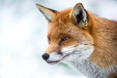 Fox na neve imagens de stock royalty free