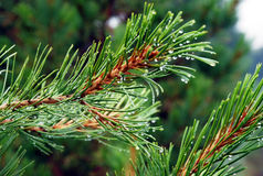Paisagem, Rússia, o Lago Baikal, caminhada, viajando, montanhas, recreação, floresta, shumack, ramo do cedro, orvalho, água, gota imagem de stock royalty free