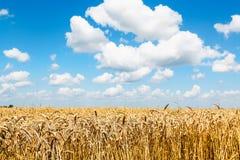 Paisagem rural com as orelhas do trigo maduro no campo imagem de stock